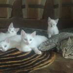 семья белых котят