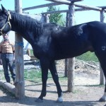 horse-to-sale (3)