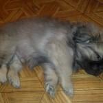 Пес на полу