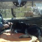 Собака под капельницей