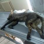 Собака после аварии
