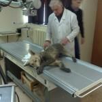 Собака с переломом позвоночника