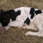 дача лекарства теленку