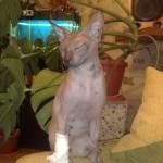 Кошка после капельницы