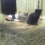 Кошки на конюшне