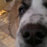 Собака и большой нос
