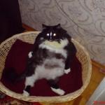 Очень толстый кот