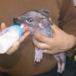 Новорожденные поросятки