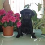 Французский бульдог и цветы