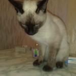 Кошка перед операцией