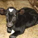 Черный теленок
