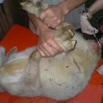 Кастрация козликов