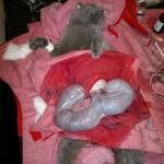 Кошка во время операционных родов