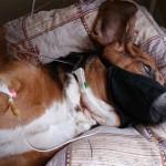 4. Бассет-хаунд - после операции под капельницей