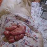1. Инородный предмет атания кишечника у собаки