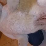 Осмотр шва - после стерилизации у лайки