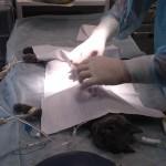 1. Разрыв диафрагмы у кота в результате падения с высоты - до операции