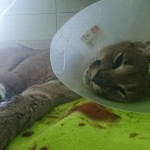 2. Операция рыси