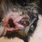 1. Удаление глаза кошке