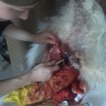 Множественные абцессы, некроз ткани у собаки