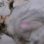 1. Подготовка к кесареву у кошки