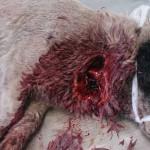 3. Рваная рана у собаки