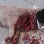 4. Рваная рана у собаки