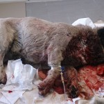 6. Рваная рана у собаки - наложение швов