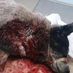 2. Рваная рана у собаки