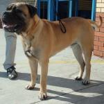 Dog_Bullmastiff