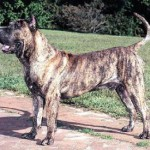 Dogo_Canario