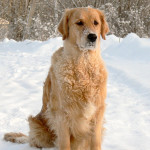 Golden_Retriever