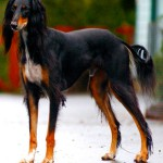 Saluki_dog_breed