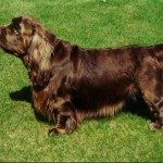 Sussex Spaniel1