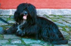 Tibetan-terrier-Blue-Blossom-Guldborg-Denmark