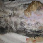 Хирургия - Кесарево - Кошка (3)