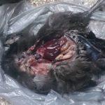 Вскрытие декоративных курочек (3)