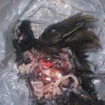 Вскрытие декоративных курочек (39)