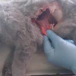 Вскрытие кошки британской породы, 10 мес (13)