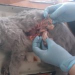 Вскрытие кошки британской породы, 10 мес (26)