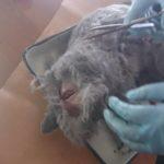 Вскрытие кошки британской породы, 10 мес (28)