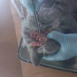 Вскрытие кошки британской породы, 10 мес (31)