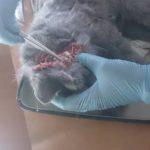 Вскрытие кошки британской породы, 10 мес (35)