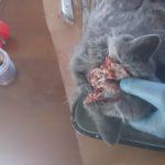 Вскрытие кошки британской породы, 10 мес (36)