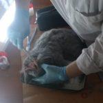 Вскрытие кошки британской породы, 10 мес (37)