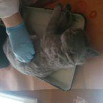 Вскрытие кошки британской породы, 10 мес (4)