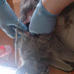 Вскрытие кошки британской породы, 10 мес (8)
