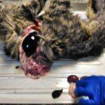Вскрытие кошки с почечной недостаточностью после стерилизации 2017 (15)