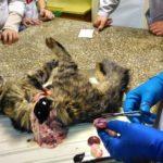Вскрытие кошки с почечной недостаточностью после стерилизации 2017 (16)