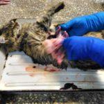 Вскрытие кошки с почечной недостаточностью после стерилизации 2017 (21)